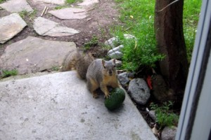 Squirrel goes for it anyway