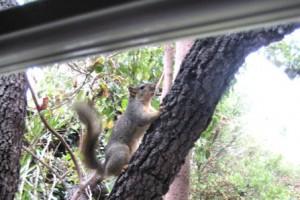 Squirrel hears the avocado fall